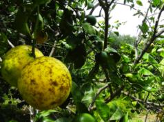 Scorbuto limoni sulle origini della mafia