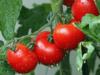 pomodoro storia, origine